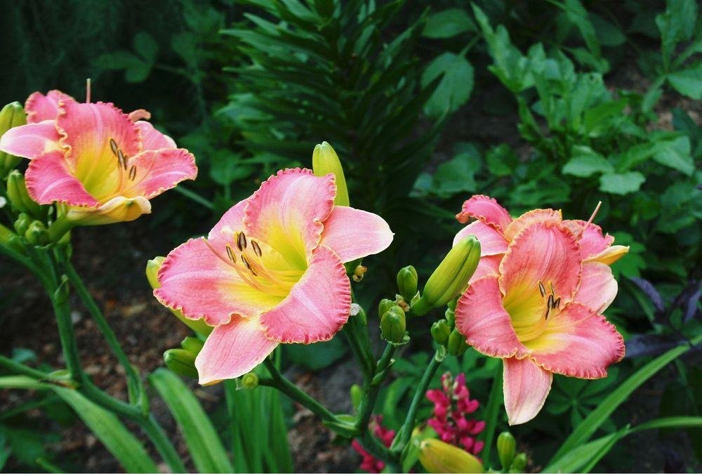 Hemerocallis-Country-Melody-2