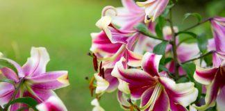 Восточные гибриды отличаются необычайной красотой крупных цветков