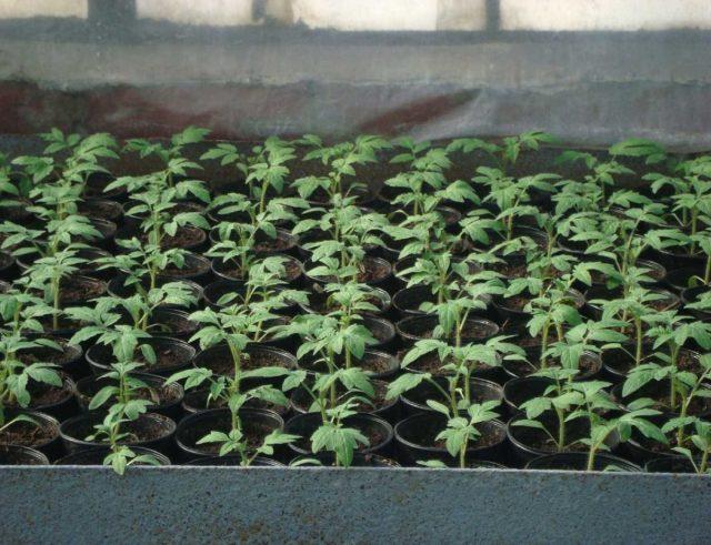 Рассада томата через 14 дней после пикировки