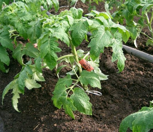 Рассада томата после посадки в теплицу