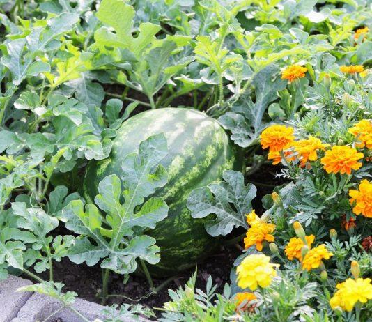 Что полезно высаживать рядом с арбузом и дыней?