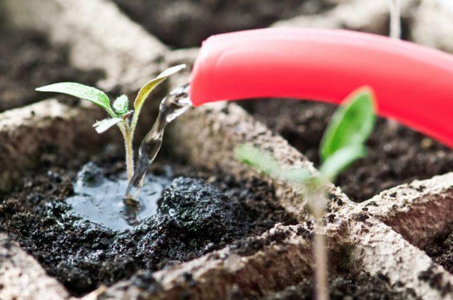 Рассаду нельзя поливать любой водой, набранной из-под крана