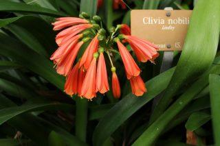 Кливия благородная (Clivia nobilis)