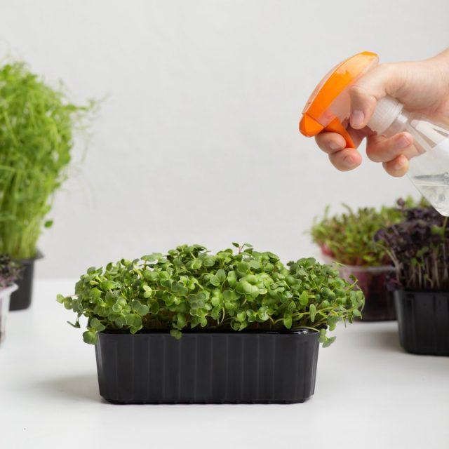 Влажность семян, воздуха и почвы при проращивании микрозелени нужно поддерживать постоянной
