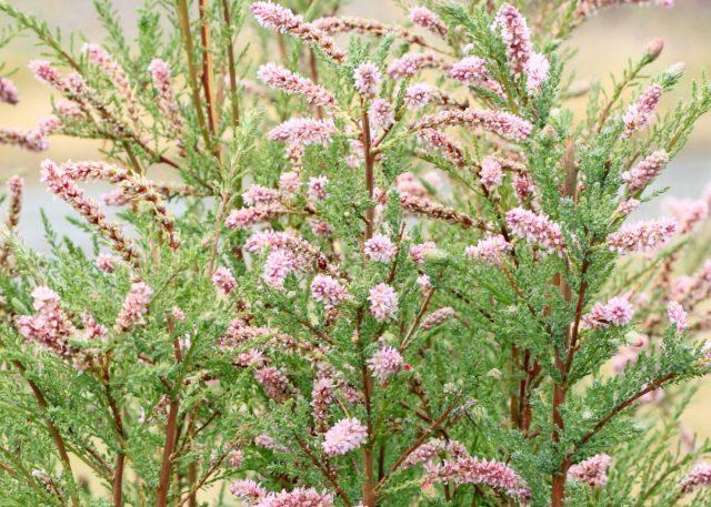 Мирикария лисохвостниковая (Myricaria alopecuroides)
