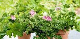 Пеларгония душистая — впечатляющие листья и аромат