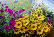 Петхоа — новое слово в селекции петуний