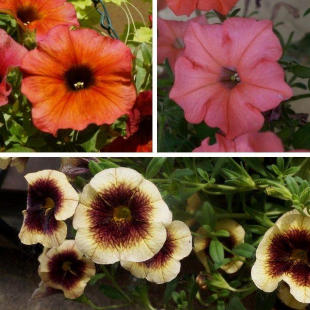 Слева — цветок петхоа сферической формы, практически идентичной калибрахоа (внизу), справа — цветок петунии более звездчатой формы с рассеченными и заостренными лепестками