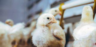 Как за два месяца из цыпленка вырастить бройлера на 3-4 кг?