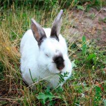 Кролик «Калифорнийский»