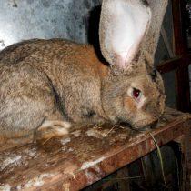 Кролик «Фландр»