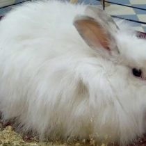 Кролик «Белый пуховой»