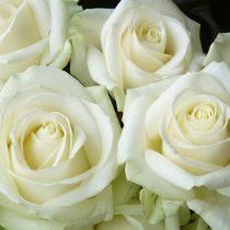 Чайно-гибридная роза «Аваланш»