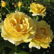 Клумбовая роза «Микельанжело»