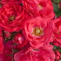 Почвопокровная роза «Анадия»