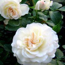Почвопокровная роза «Бланка»