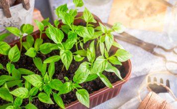 Секреты выращивания рассады перца