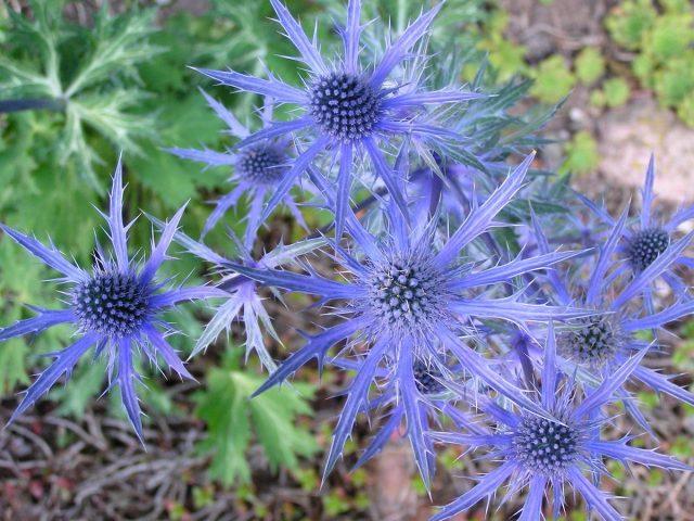 Синеголовник альпийский «Голубая звезда» (Eryngium alpinum 'Blue Star')