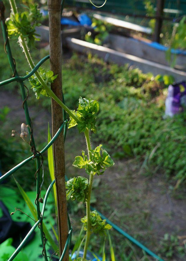 У томата «Палка» тонкий и гибкий стебель, который нуждается в подвязке в нескольких местах