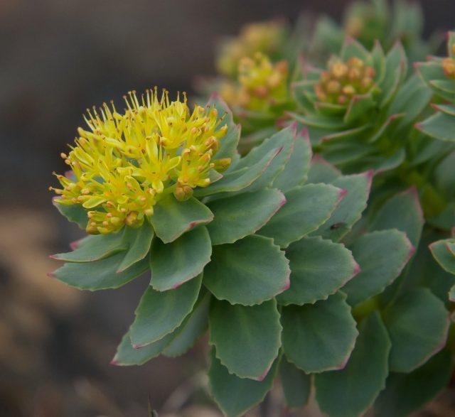 На верхушках побегов родиолы розовой (Rhodiola rosea) в небольшие щитки собраны мелкие цветки неожиданно светлого желтого окраса