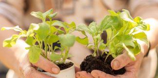 На выращивание рассады петунии требуется около 12-13 недель