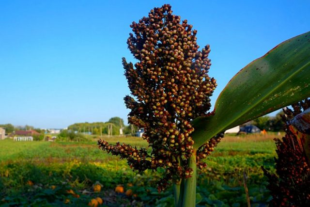 Зерновое сорго — как выращивать и использовать?