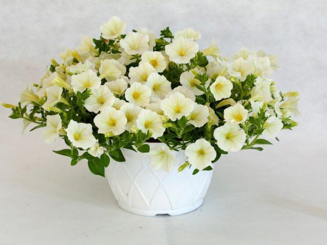 Петуния (Petunia) «Пендолино»