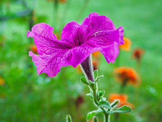 Характерная форма цветков петуний в виде трубы или граммофона была «спроектирована» матерью-природой для привлечения птичек колибри, бабочек и пчел