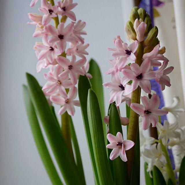 Гиацинт «Анна Лиза» (Hyacinthus 'Anna Liza')