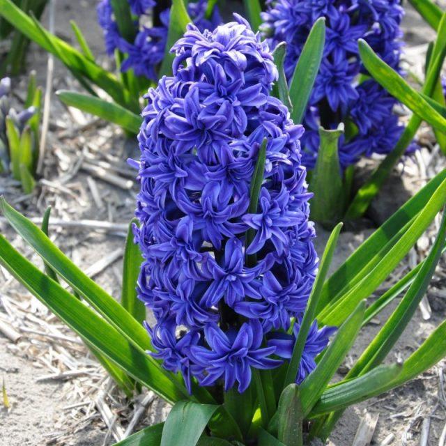 Гиацинт «Кристал Пэлас» (Hyacinthus 'Crystal Palace')