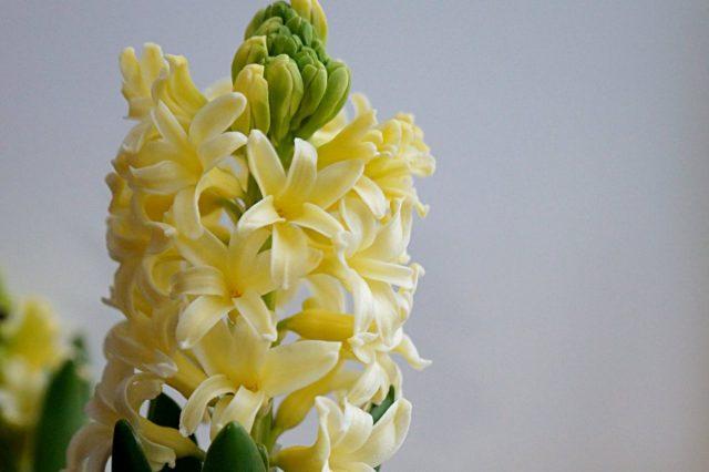 Гиацинт «Йеллоустоун» (Hyacinthus 'Yellowstone')