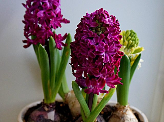 Гиацинт «Вудсток» (Hyacinthus 'Woodstock')