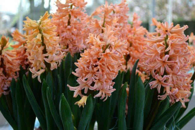 Гиацинт «Джипси квин» (Hyacinthus 'Gipsy Queen')