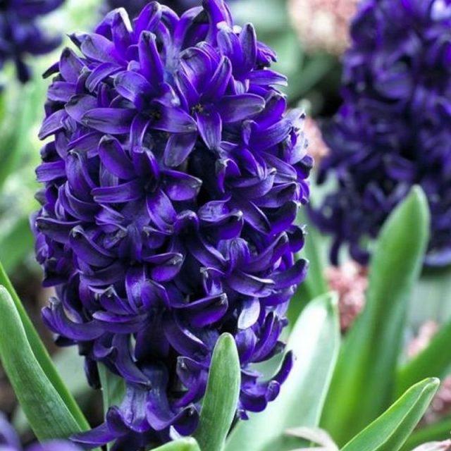 Гиацинт «Оушен Делайт» (Hyacinthus 'Ocean Delight')