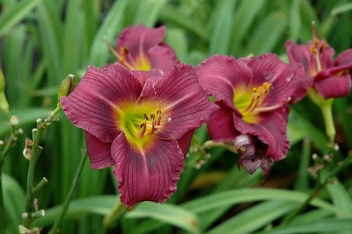 Hemerocallis-Little-Grapette-1