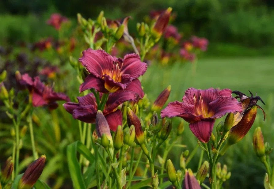 Hemerocallis-Little-Grapette-2