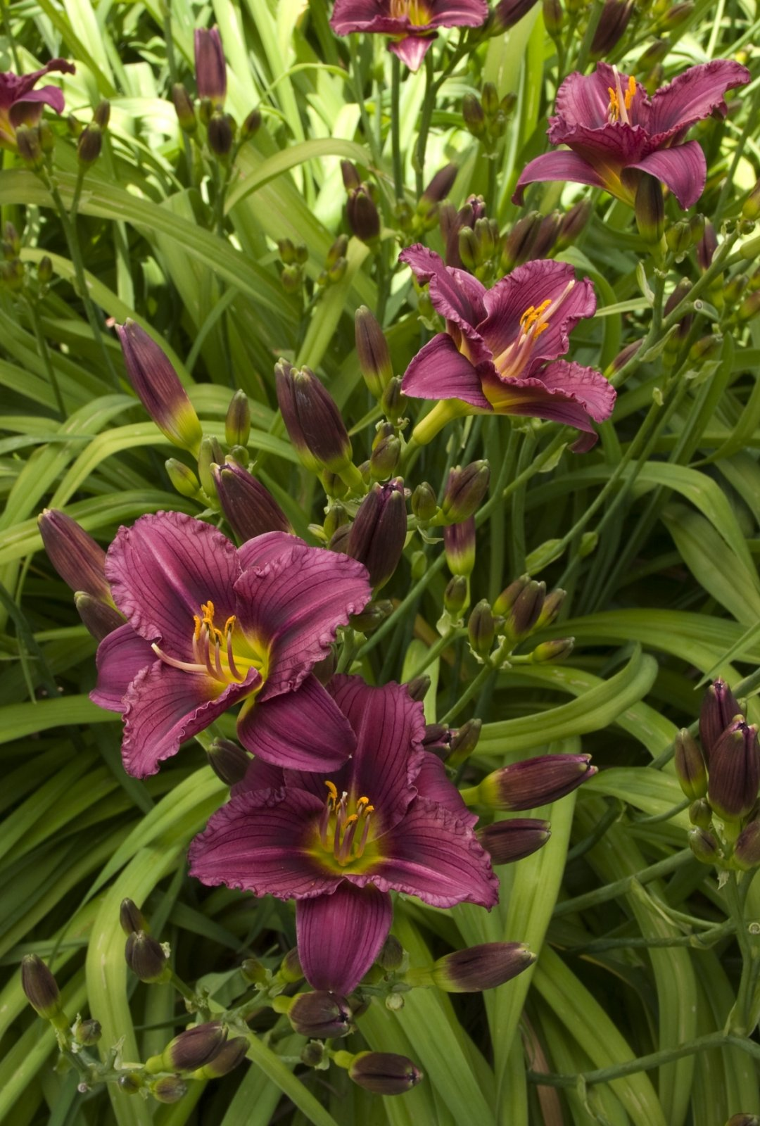 Hemerocallis-Little-Grapette-4
