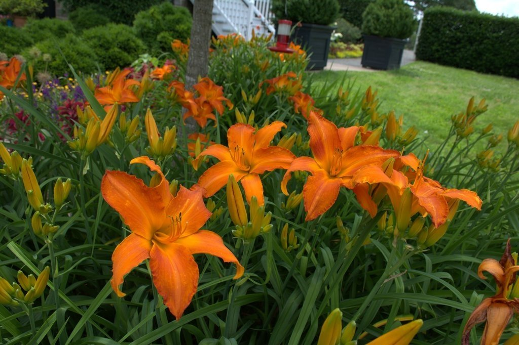 Hemerocallis-Primal-Scream-3