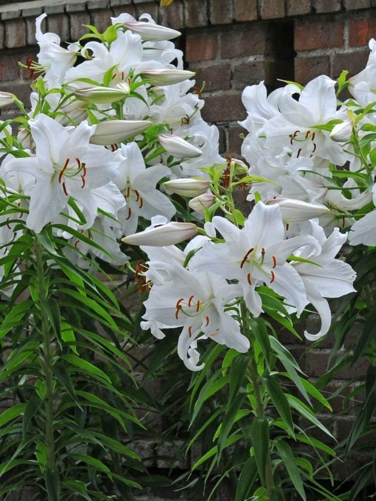 Lilium-orientalis-Casa-Blanca-3