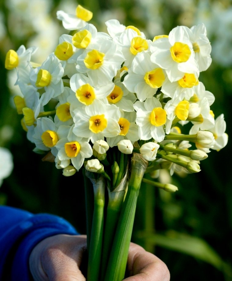Narcissus-Avalanche-3