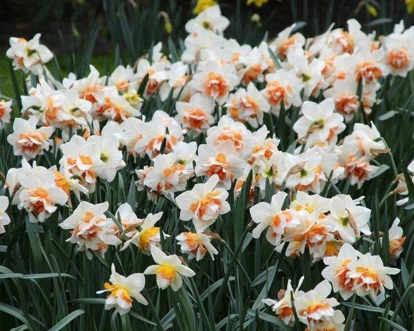Narcissus-Replete-2