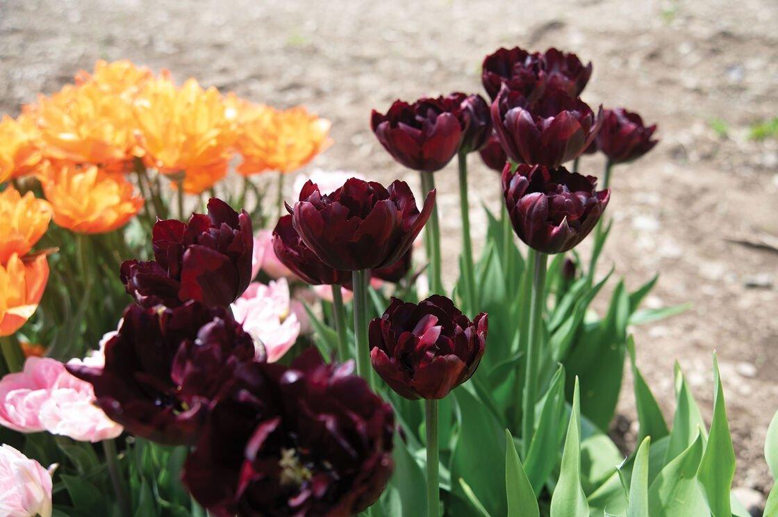 Tulipa-Palmyra-2