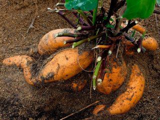 Почва батату нужна рыхлая