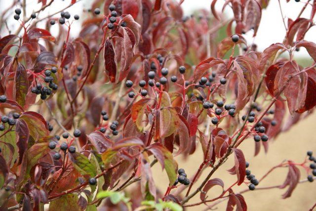 Осенью листья дёрена красного (Cornus sanguinea) краснеют, а на ветвях висят чёрные горошинки ягод