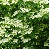 Роскошно цветущий дёрен коуза (Сornus kousa)