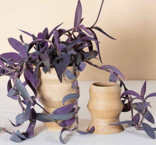 У традесканции бледной, или сеткрезии (Tradescantia pallida) фиолетовый цвет доминирующий и почти единственный