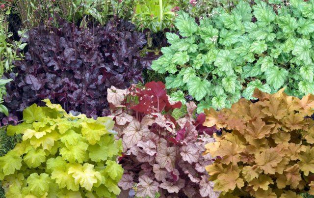 Гейхеры — декоративно-лиственные многолетники для переднего плана