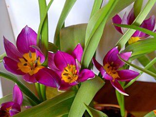 Для ботанического тюльпана цветение «Персиан Перл» длится довольно долго