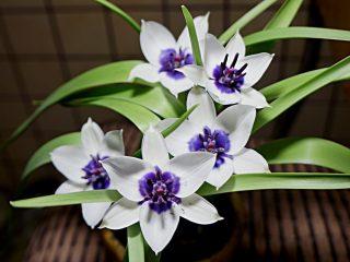У «Коэрулея Альба Окулата», как и у многих других тюльпанов, в центре цветка имеется контрастное пятно, но очень редкой для тюльпана окраски — темно-фиолетовой