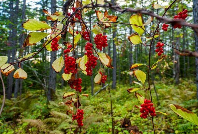 Лимонник китайский (Schisandra chinensis) поразил меня своим видом в лесу достаточно поздней осенью